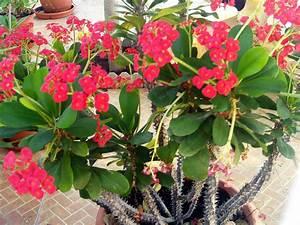 euphorbia milii - Pesquisa Google | Euphorbia | Pinterest ...
