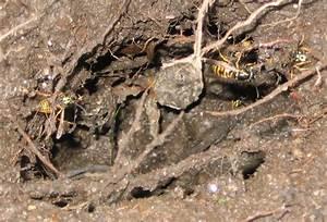 Wespen Unter Dachziegel : bild fotografie wespe insekten erde von gallery of ~ Articles-book.com Haus und Dekorationen