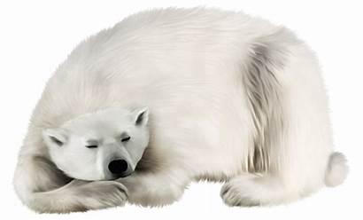 Bear Polar Transparent Clip Clipart Animals Kodiak