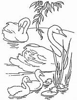 Coloring Swans Printable Colouring Swan Thegraphicsfairy Template Adult Fairy Animal sketch template