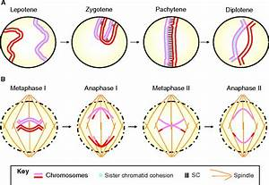 Homologous Pairing And The Role Of Pairing Centers In