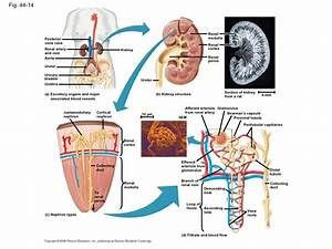 Wiring Diagram Database  Label The Diagram Of The Kidney