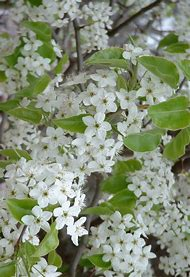 Best 25 ideas about white flower tree find what youll love spring flowering trees with white blooms mightylinksfo