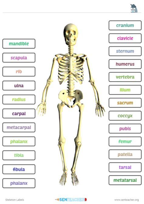 sen teacher skeleton labels printable worksheet