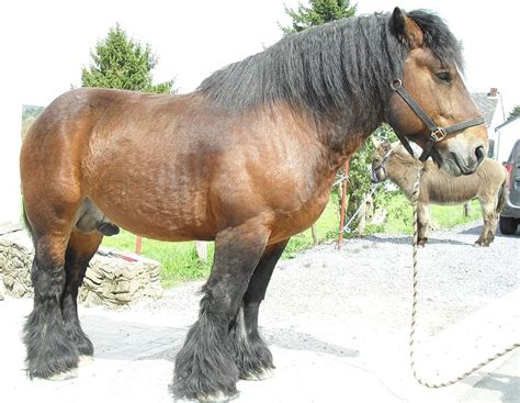 Dutch Draft Horse Breed