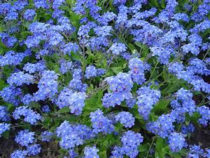 Arbuste Plein Soleil Longue Floraison : file myosotis victoria wikipedia ~ Premium-room.com Idées de Décoration