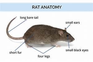 Rat Identification
