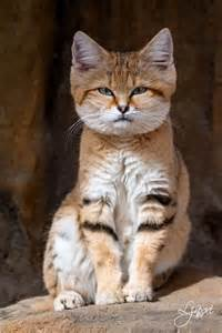 sand cats for arabian sand cat cats