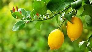 5 Common Citrus Tree Problems