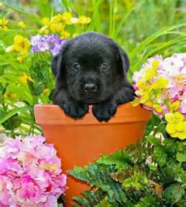 Black Lab Puppies with Flowers