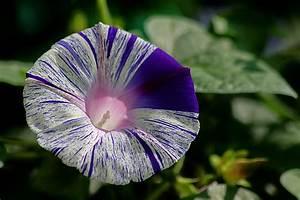 Flower Homes: Morning Glory Flowers