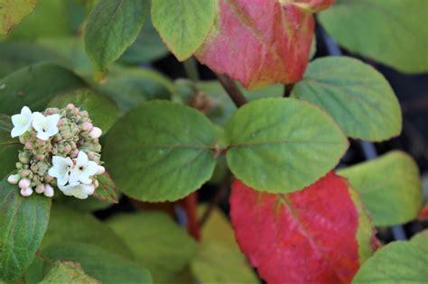 Grossblumiger Duft-schneeball