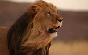 Male Lion Wallpaper Hd...