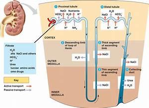 Manash  Subhaditya Edusoft   Urinary System  Filter System
