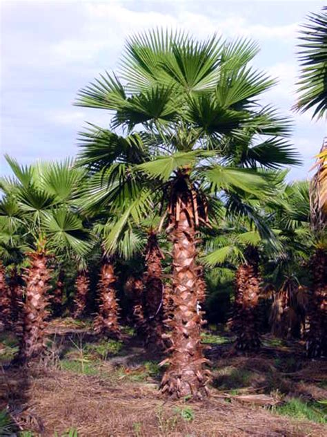 mexican fan palm care hardy giant mexican fan palm 5 seeds exotic rare