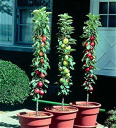 pommier nain en pot les fruitiers qui se plaisent en pot jardinage s
