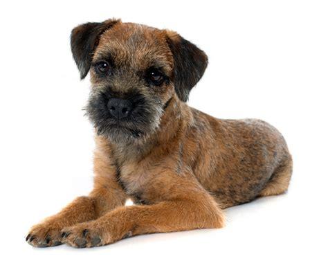 border terrier petsecure