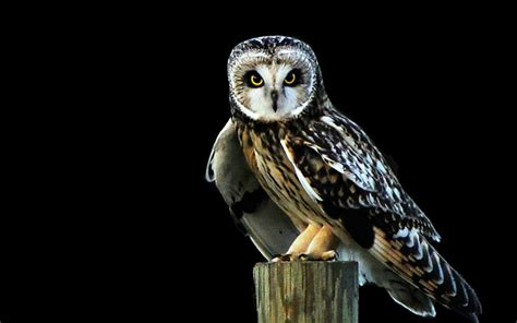 owl animals  black background  hd wallpapers