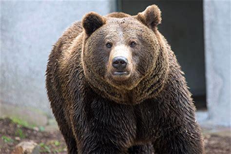 Бурый медведь как выглядит где обитает что ест описание повадок спячка . Охота.гуру советы начинающим и опытным охотникам