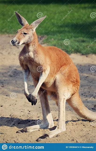 Kangaroo Legs Standing Magnificent Sunny Sand Ears
