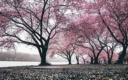 Sakura Tree Trees Spring Flowering Blooming Wallpapers