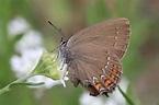 Satyrium ilicis on euroButterflies by Matt Rowlings