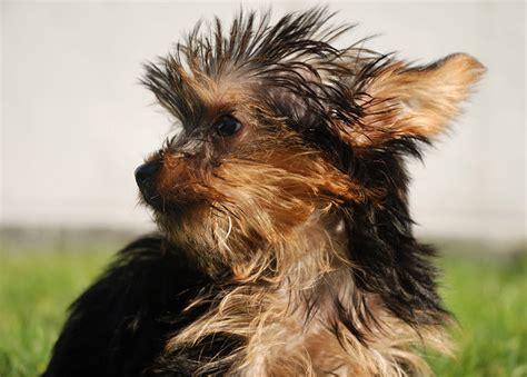 Yorkshire Terrier Welpen Pflege