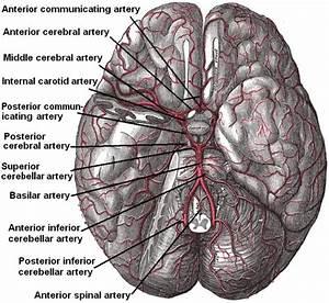 Cerebral Arterial Supply To The Brain  Illustration