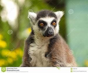 Eyes Lemur Royalty Free Stock Photo - Image: 31884165