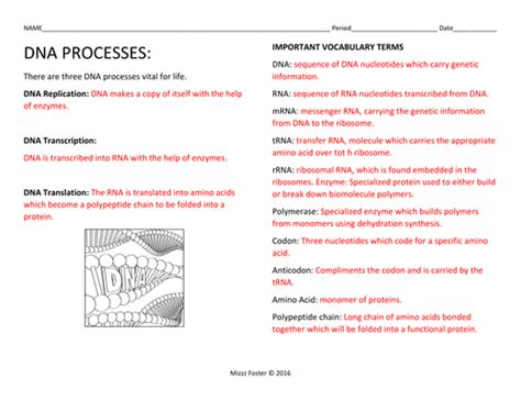 Dna Processes Dna Replication And Protein Synthesis Worksheets With Key By Mizzzfoster Uk