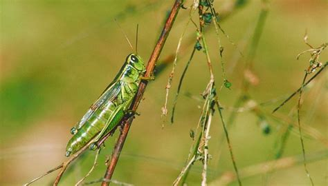 types  grasshoppers animals momme