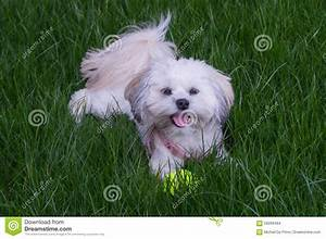 White Maltese Dog/Shih Tzu Stock Photo - Image: 59268484