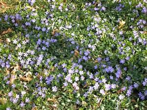 Blau Blühender Bodendecker : bodendecker pflanzen ideen f r schnellwachsende sorten ~ Frokenaadalensverden.com Haus und Dekorationen