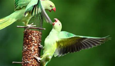 care   indian ringneck parrot animals