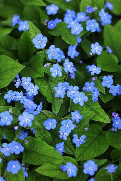 blaue blumen frühling blaue blumen kostenlose bilder titania foto