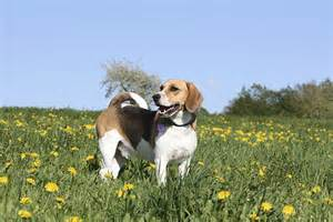 plexidor pet doors dog breed spotlight beagle