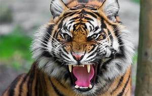 Angry tiger Wallpaper wallpaper - HD Wallpapers 100% ...