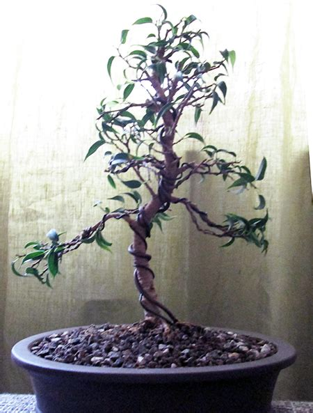 bonsai formen mit draht gestaltung eines ficus benjamina pandora teil 1