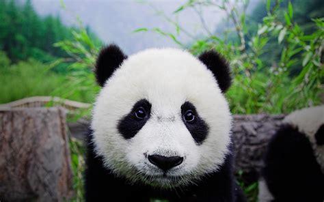 Cute Panda Bears Hd Wallpapers