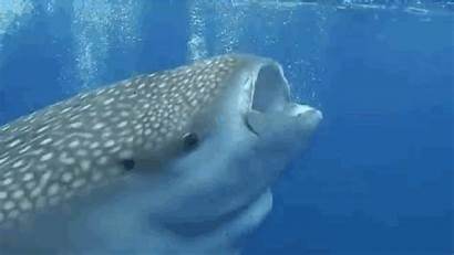 Whale Sharks Shark Sima Impossible Reasons Giphy