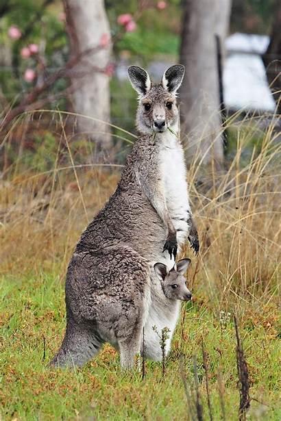 Kangaroo Wikipedia Kangaroos Joey Australia Grey Pouch