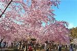 粉色櫻花海大盛開!絕美農場野餐出遊好去處 - MOOK景點家 - 墨刻出版 華文最大旅遊資訊平台