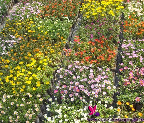 sri lanka garden plants garden ftempo