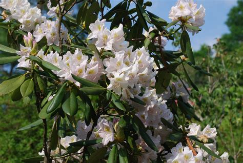 growing conditions for rhododendron top 28 soil conditions for rhododendrons how to grow rhododendrons in containers ehow uk