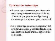 Cual Es La Funcion Del Estomago En El Proceso Digestivo