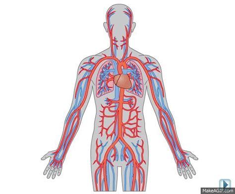 Circulatory System On Make A Gif