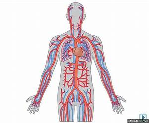 Circulatory System On Make A Gif