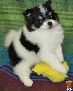 gorgeous little female Pomeranian puppy. She is bl 20343
