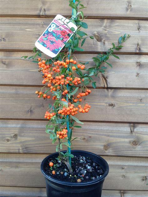 pyracantha orange glow firethorn shrub established