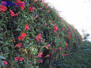 Red Trumpet Vine Fence